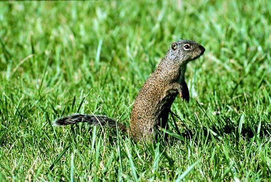 Arctic Ground Squirrel Denali